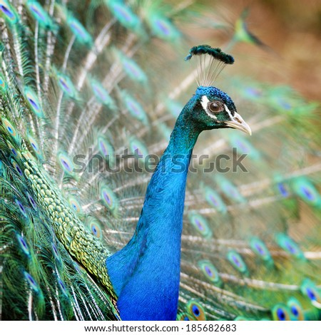 Portrait of peacock male in courtship display posture.  - stock photo