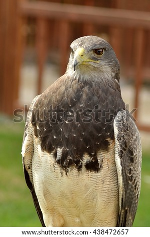 portrait of peregrine falcon in the natural park - stock photo