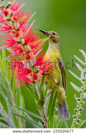 Portrait of Plain Sunbird(Anthreptes simplex) with the flower in nature at Keangkrajarn National Park, Thailand  - stock photo