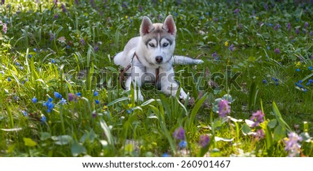 Portrait of puppy of the Siberian Husky on the background of green grass - stock photo