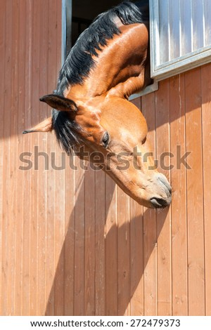 Portrait of purebred chestnut horse in stable window. Multicolored summertime outdoors image. - stock photo