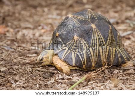 Portrait of radiated tortoise (Astrochelys radiata) - stock photo