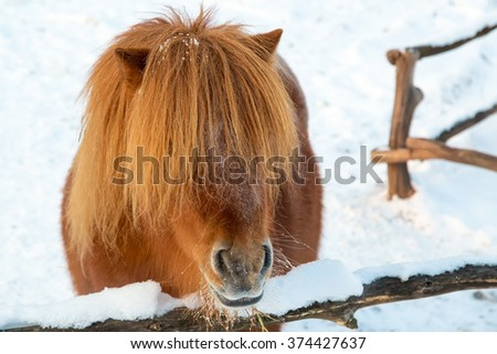 Portrait of red-haired pony. - stock photo