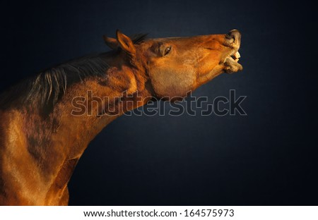 Portrait of red horse on dark blue background  - stock photo