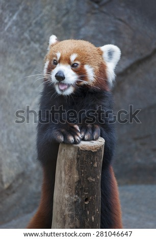 Portrait of Red Panda, Firefox or Lesser Panda (Ailurus fulgens) - stock photo