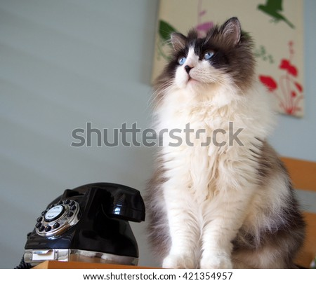 Portrait of Regal and Wise Long Haired Bi-Color Brown White Ragdoll Cat sitting with Vintage Black Rotary Phone from Upwards Perspective - stock photo