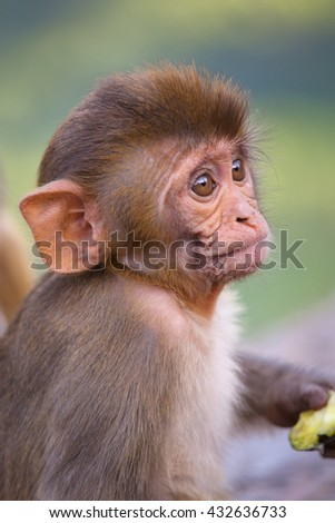 Portrait of Rhesus macaque (Macaca mulatta) in Galta Temple in Jaipur, India. The temple is famous for large troop of monkeys who live here. - stock photo
