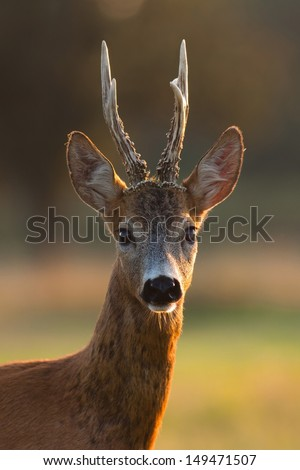 Portrait of roe deer buck with big antlers in evening light - stock photo