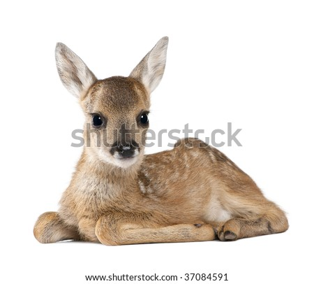 Portrait of Roe Deer Fawn, Capreolus capreolus, 15 days old, sitting against white background, studio shot - stock photo