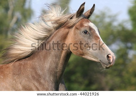 Portrait of running arabian horse - stock photo