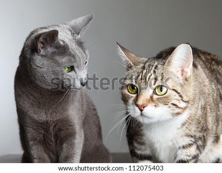 Portrait of Russian Blue and Three-Colored Housecat - stock photo
