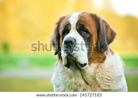 Portrait of saint bernard in autumn - stock photo
