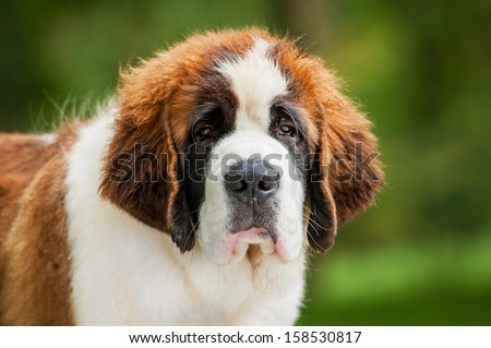 Portrait of saint bernard puppy - stock photo
