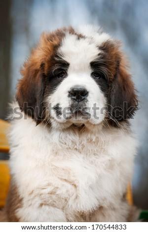 Portrait of saint bernard puppy - stock photo