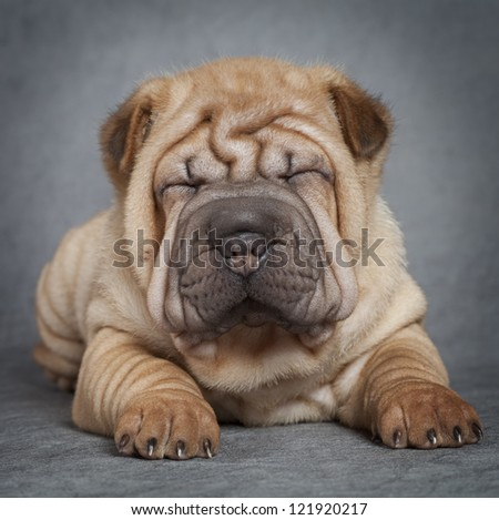 Portrait of sharpei puppy dog against grey background - stock photo