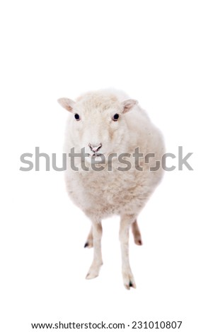 Portrait Of sheep  On White - stock photo