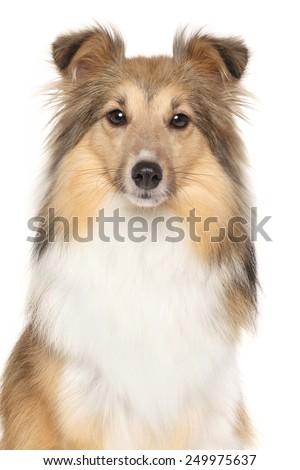 Portrait of Shetland Sheepdog isolated on white background - stock photo