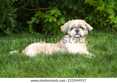 Portrait of Shih Tzu Dog in Laying Down Position in Green Grass.  Horizontal - stock photo