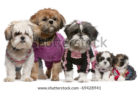 Portrait of Shih Tzus dressed up in front of white background - stock photo