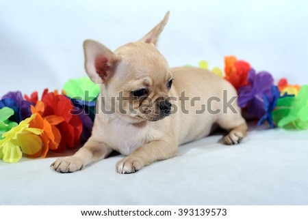 Portrait of short-haired pale Chihuahua dog with garland of colorful flowers in a white background. The puppy is two month old.  - stock photo