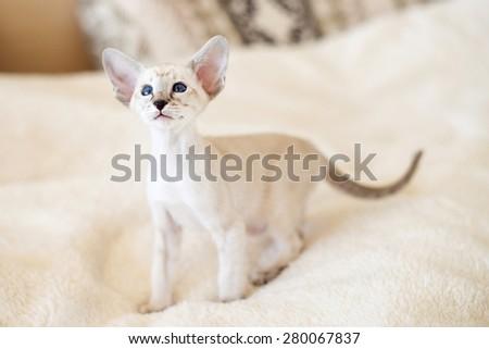 portrait of siamese kitten - stock photo