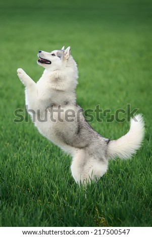 Portrait of Siberian husky on green grass background - stock photo