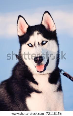 Portrait of siberian husky on snow - stock photo
