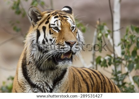portrait of Siberian tiger - stock photo