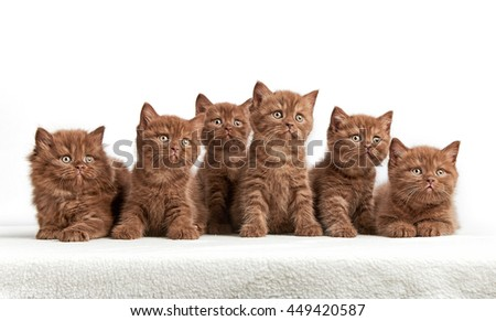 portrait of six brown british kittens on white background - stock photo