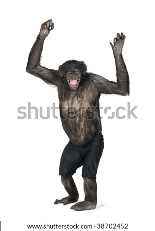 Portrait of smiling chimpanzee in shorts with arms raised against white background, studio shot. (Mixed-Breed between Chimpanzee and Bonobo) (20 years old) - stock photo