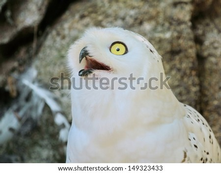 Portrait of snowy (bubo scandiacus) arctic, great white, icelandic snow owl from northern Europe looking aside beak open - stock photo
