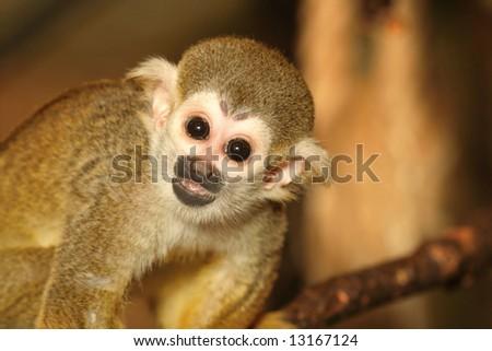 portrait of squirrel monkey kid - stock photo