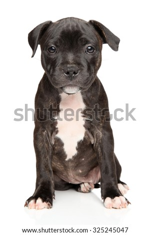 Portrait of Staffordshire bull terrier puppy on white background - stock photo