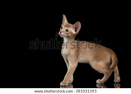 Portrait of Standing Abyssinian Kitten and Looking at left isolated on black background - stock photo