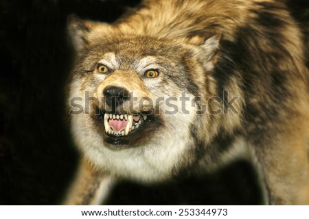 Portrait of stuffed wolf as a background - stock photo
