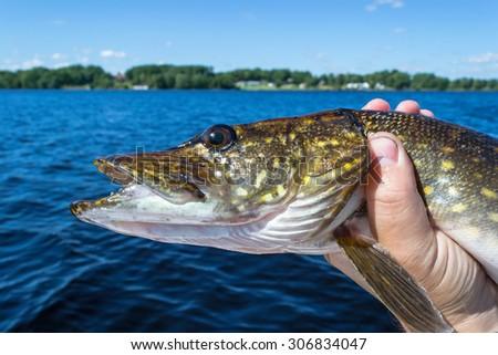 Portrait of summer pike fish - stock photo