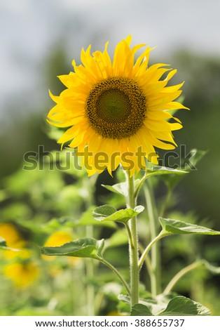 portrait of sunflower - stock photo