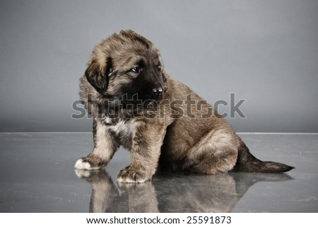 Portrait of sweet 1,5 month old kavkazskaya ovcharka  ( Caucasian shepherd dog puppy ) - stock photo