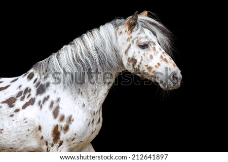Portrait of the beautiful Appaloosa pony - stock photo