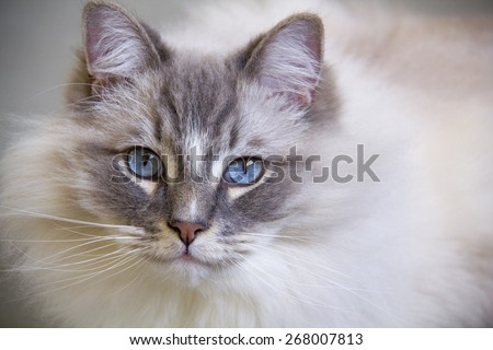 Portrait of the beautiful blue eyes ragdoll cat  - stock photo