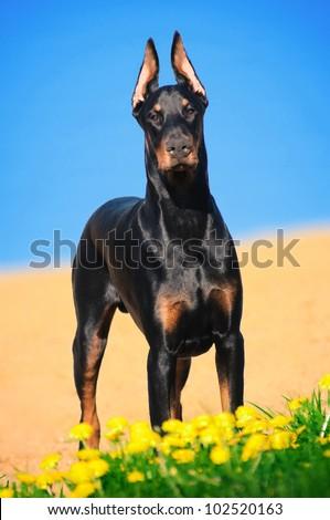 Portrait of the black doberman pinscher - stock photo