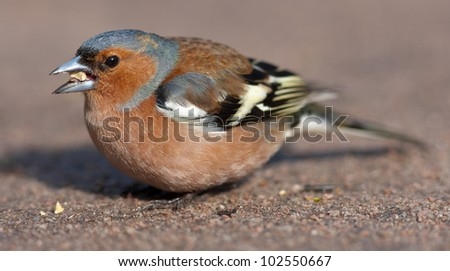 portrait of the chaffinch on the earth close up - stock photo