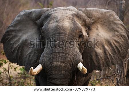 Portrait of the elephant close-up. Zambia. Lower Zambezi National Park. An excellent illustration. - stock photo
