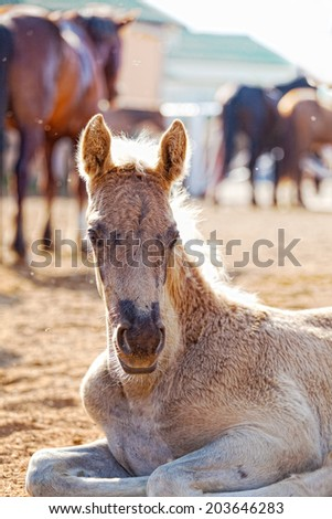 Portrait of the foal lying in the shelter, against adult horses - stock photo