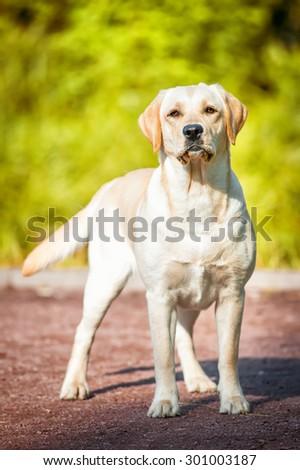 Portrait of the golden labrador - stock photo
