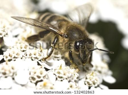 Portrait of the honey bee - stock photo