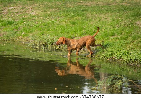 Portrait of the Hungarian hound in the water - stock photo