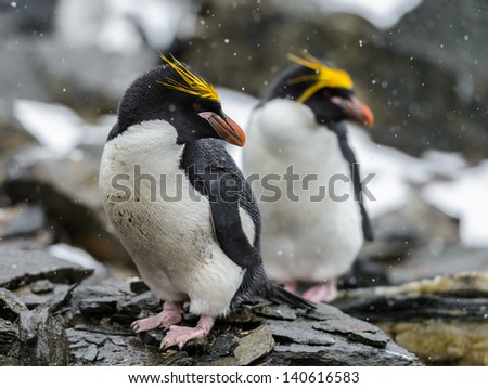 Portrait of the Macaroni penguins - stock photo