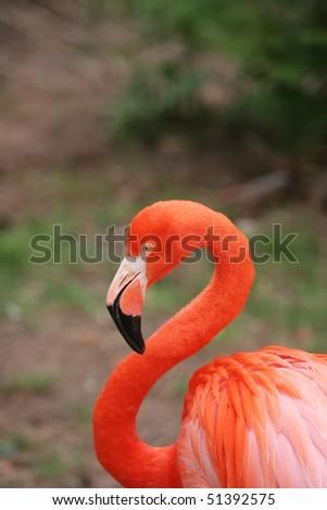 Portrait of the pink flamingo - stock photo
