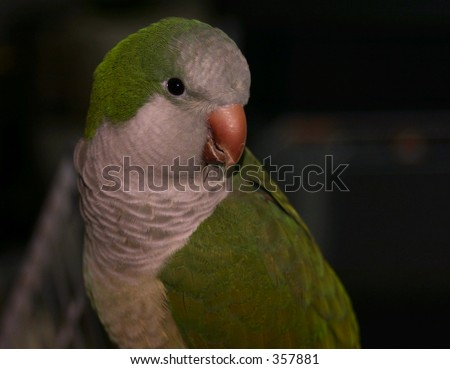 Portrait of the Quaker or Monk Parakeet - stock photo